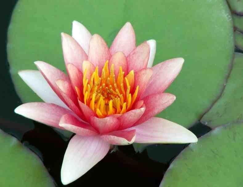 Lotus Flower low res