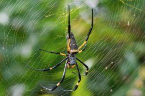 Golden_Orb_Weaver_Spider